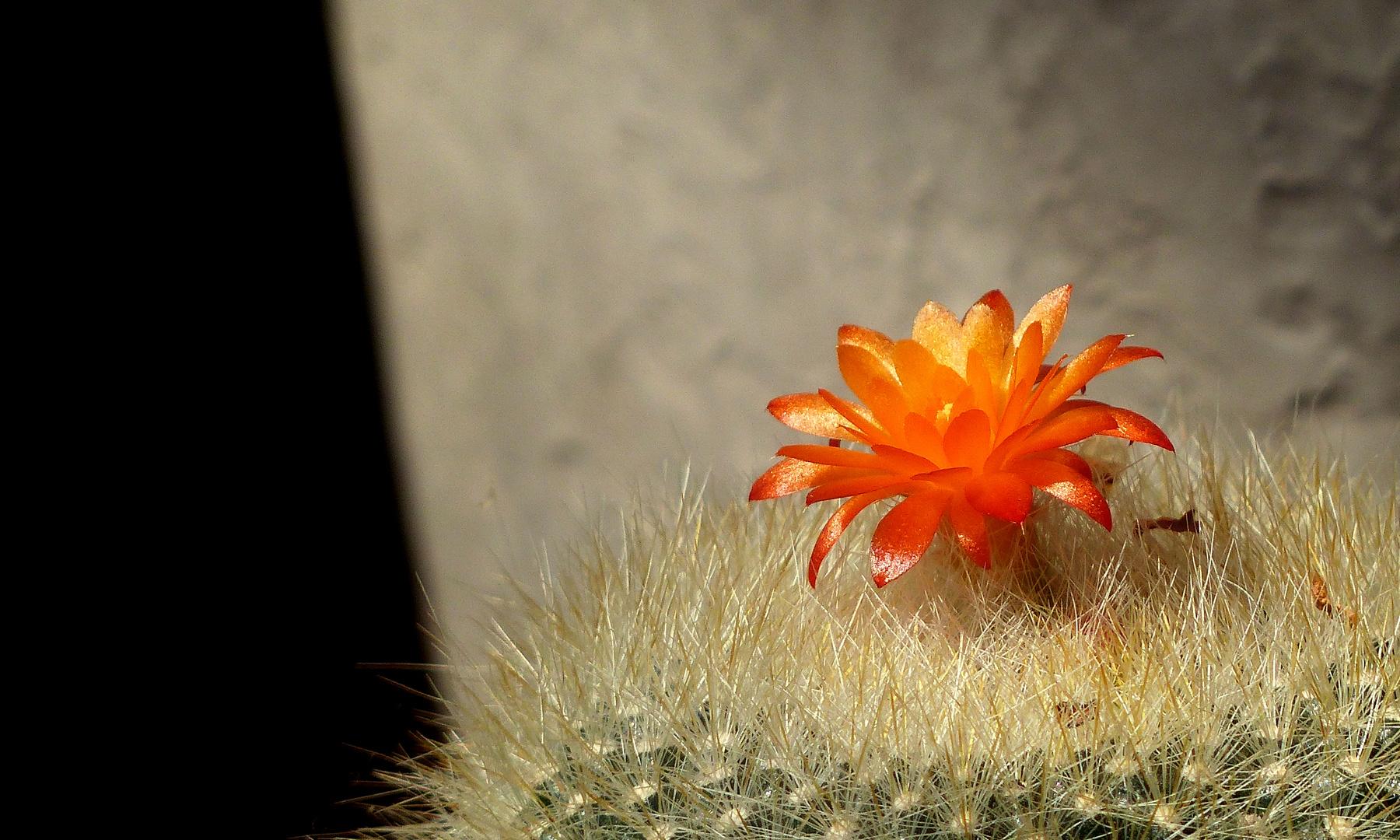 Flowering cactus Rebutia fiebrigii