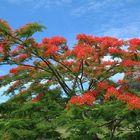 Flowering Poinciana Tree