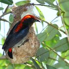 Flowerpecker