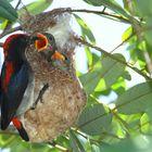 Flowerpecker bei der Brutpflege