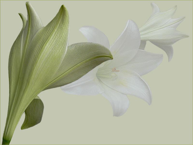 flowers ( 2 ) - weiße Lilien