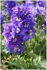 Flowers: Blaue Blume 1 - aka Delphinium