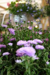 Flowers: Blue Marguerites