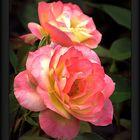 Flowers garden roses