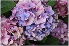 Flowers: Hydrangea