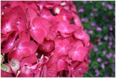 Flowers: Hydrangea 2