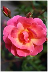 Flowers: Rose 1