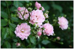 Flowers: Rose 2