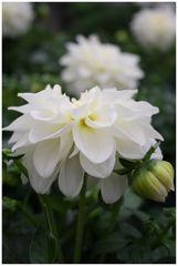 Flowers: White Dahlia