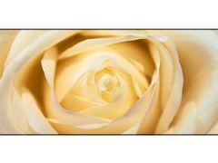 Flowers - White Rose