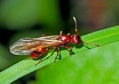 Flügel-Ameise hat ihr schönstes Hochzeitsgewand angezogen!