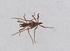 Flügellose Schneemücken (Chionea araneoides oder lutescens) - Un insecte qui vit dans la neige!