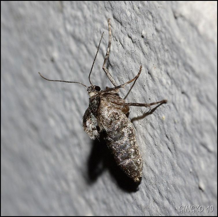 Flügelloses Falterweibchen 1cm