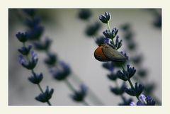 Flügelt ein kleiner .....