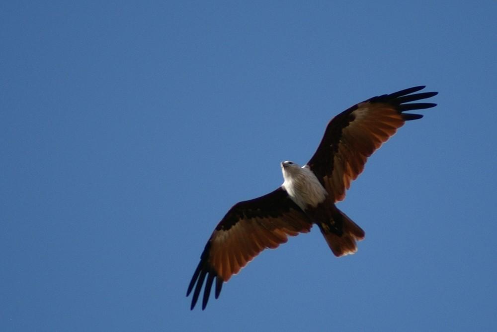 Flug der Brahminenweihe
