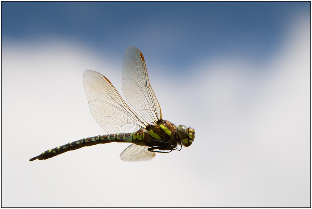 Flug der Libelle