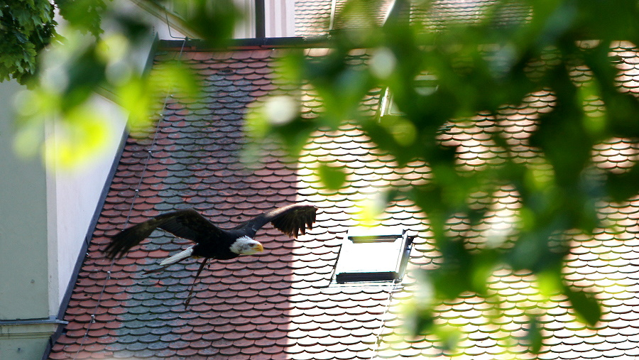 Flug des Weißkopf-Seeadlers