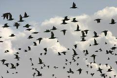 Flugfiguren bei winterlichen Wiesenvögeln