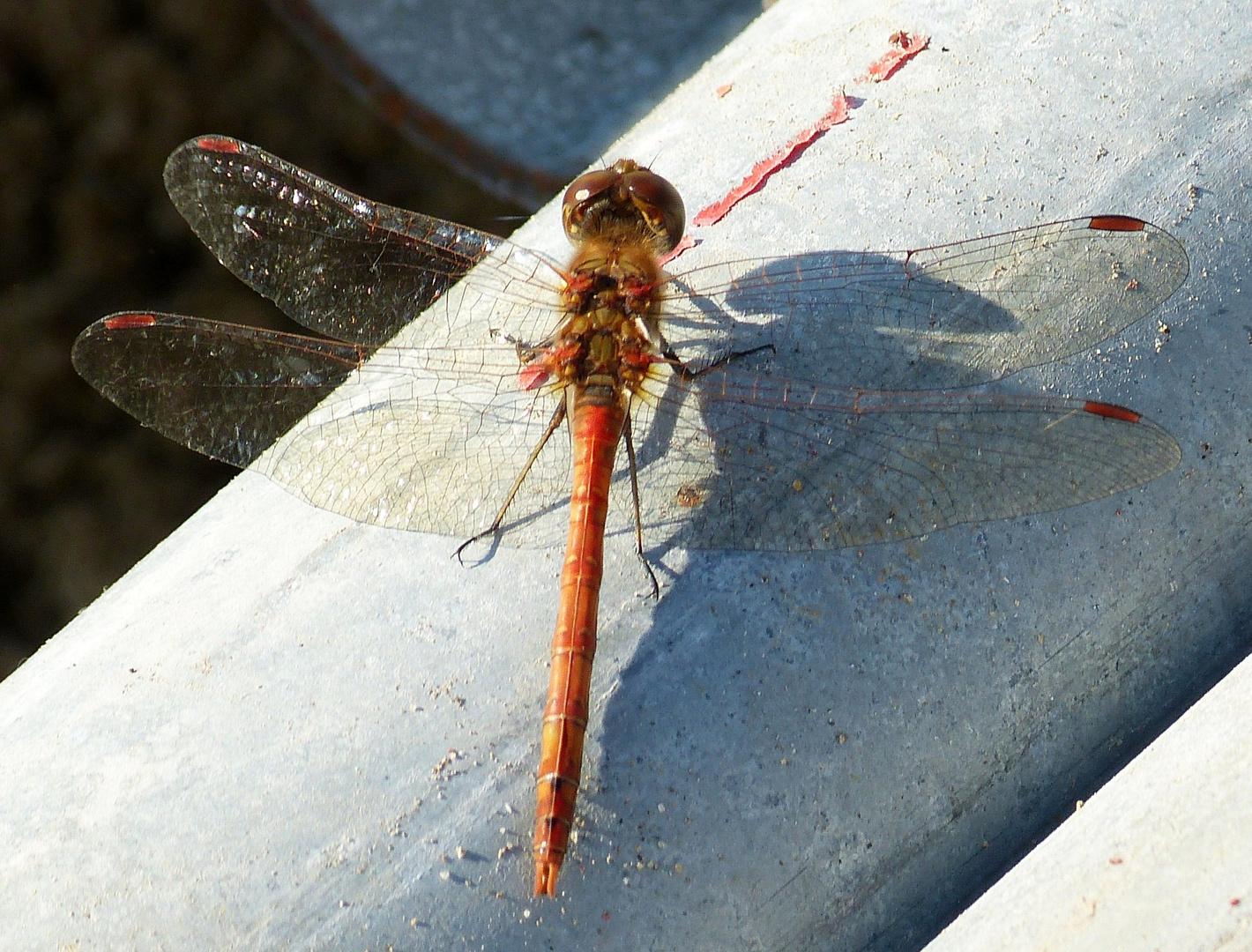 Flugkünstler Rote Libelle