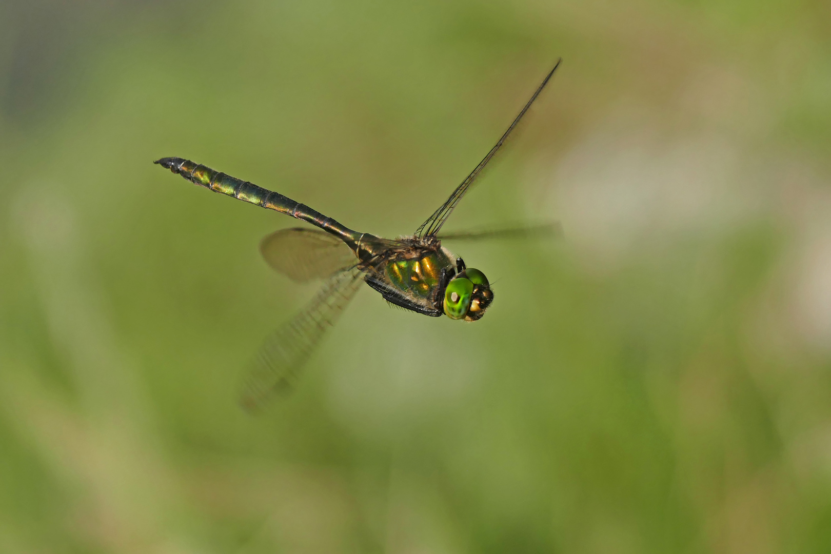 Flugkünstler (Smaragdlibelle, Cordulia aenea)