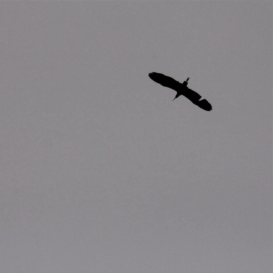 Flugsilhouetten 8: DER GRAUREIHER