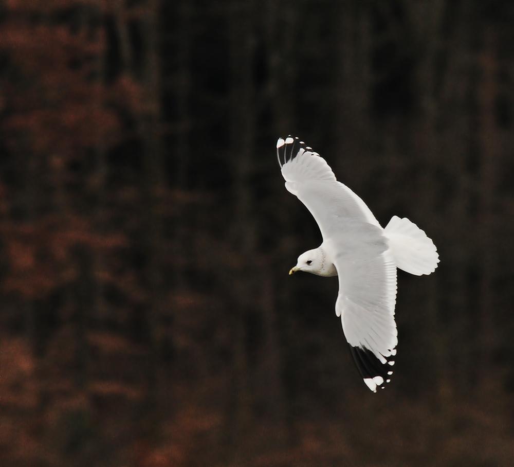 Flugstudie einer Möwe