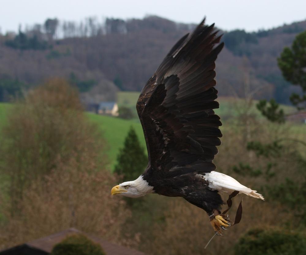 Flugstudie von Sam dem Weißkopfseeadler