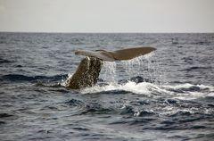 Fluke - Sperm Whale
