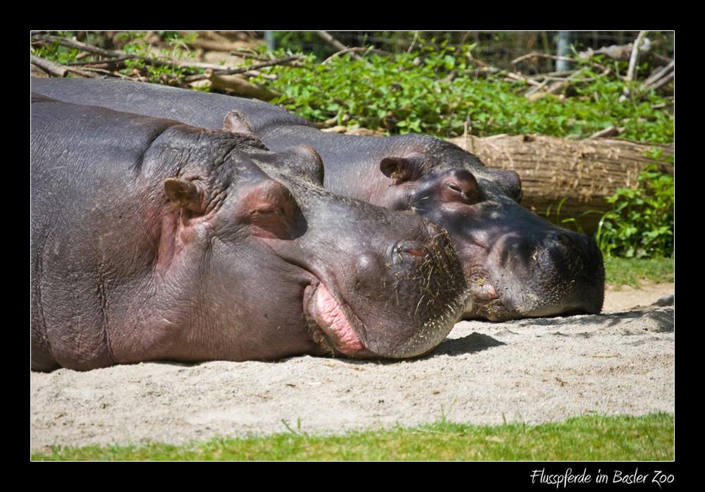 Flusspferde geniessen die Maisonne
