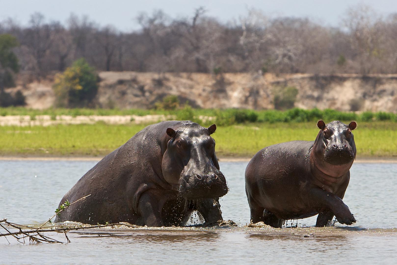 Flußpferde im Selous NP / Tansania