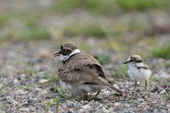 Flussregenpfeifer hudert Jungvögel