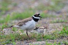 Flussregenpfeifer hudert Jungvogel