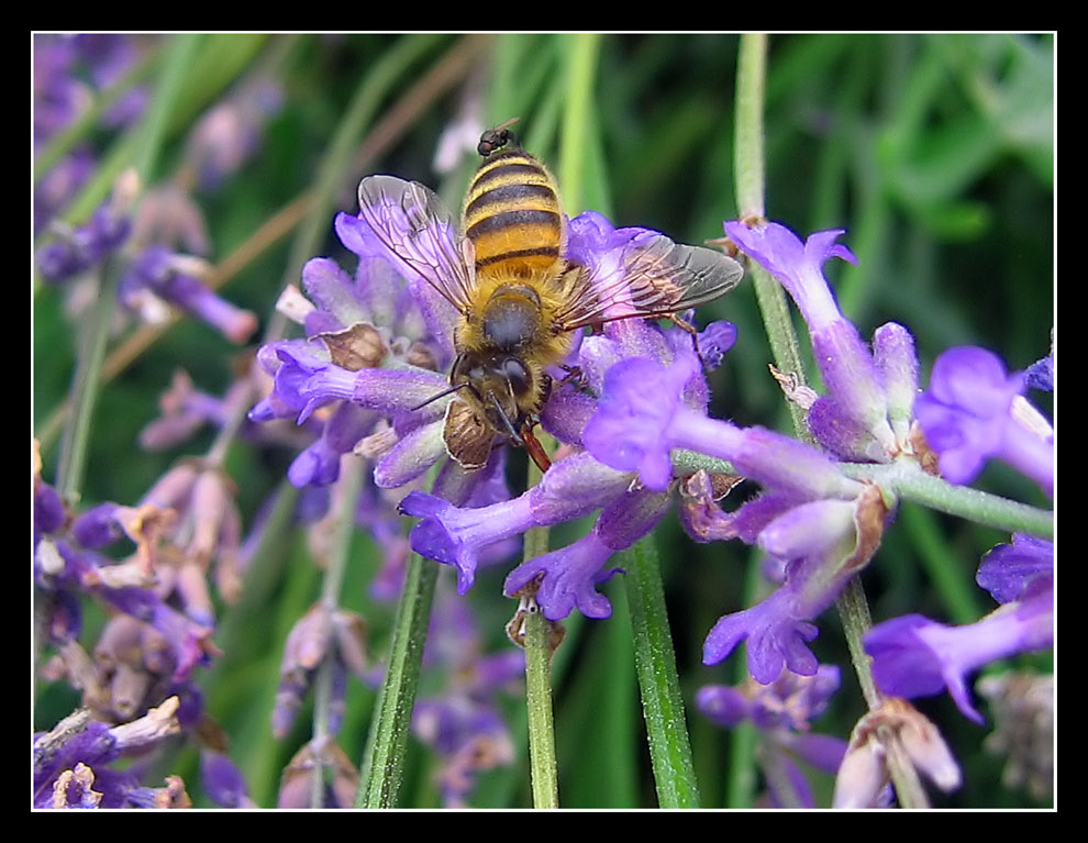 Fly on a Bee