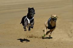 Fly Whippet fly