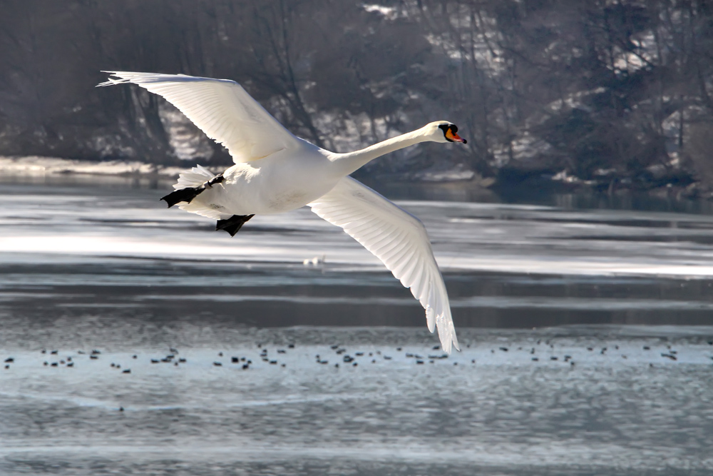 flyback swans 2