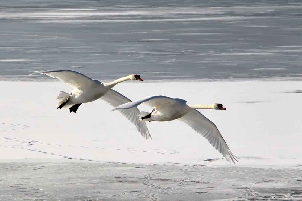 flyback swans 3