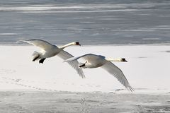 flyback swans 3