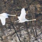 flyback swans 4