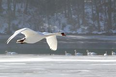 flyback swans1