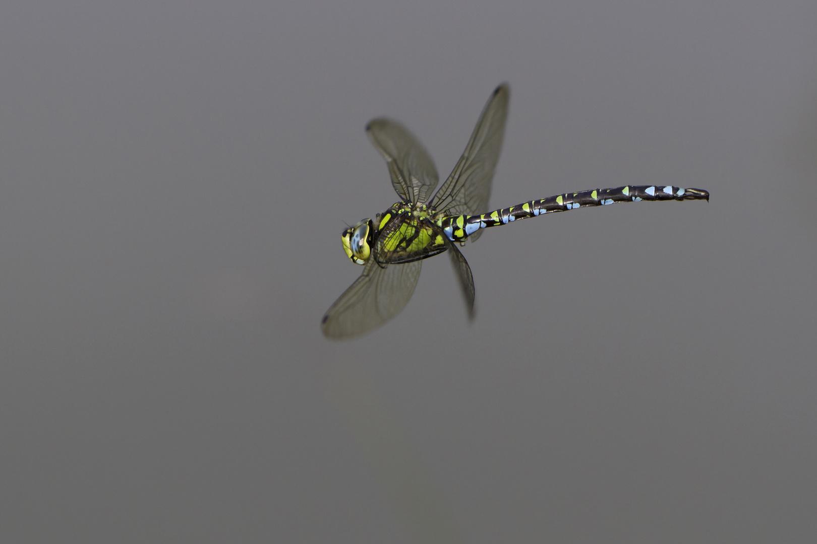 Flyby Blaugrüne Mosaikjungfer (Aeshna cyanea)