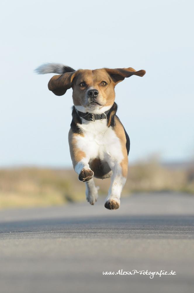 *flying Beagle*