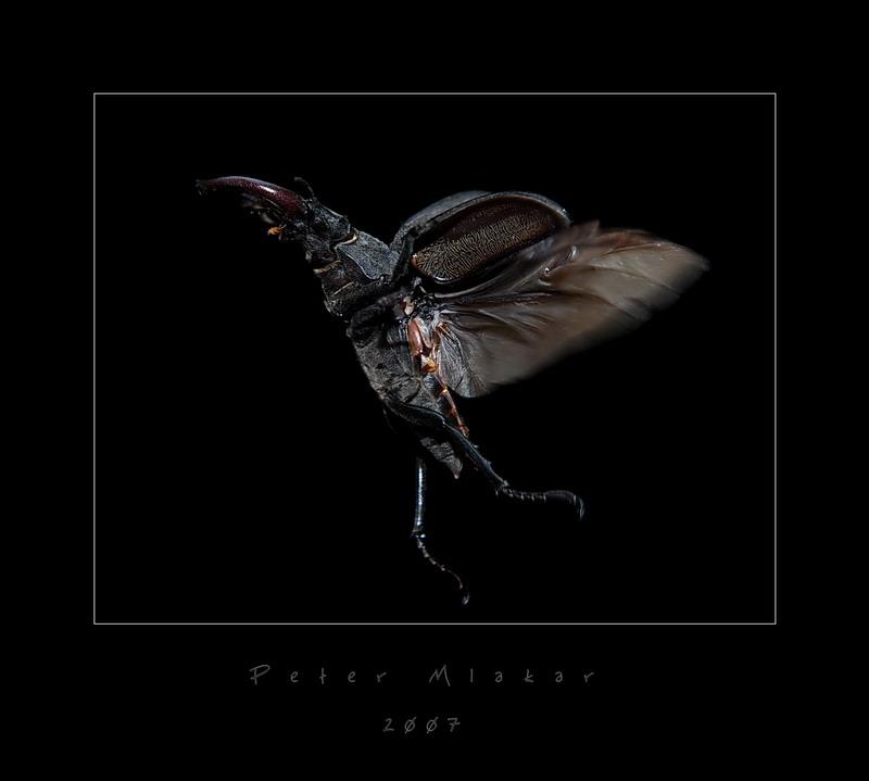 Flying bettle (Lucanus cervus)