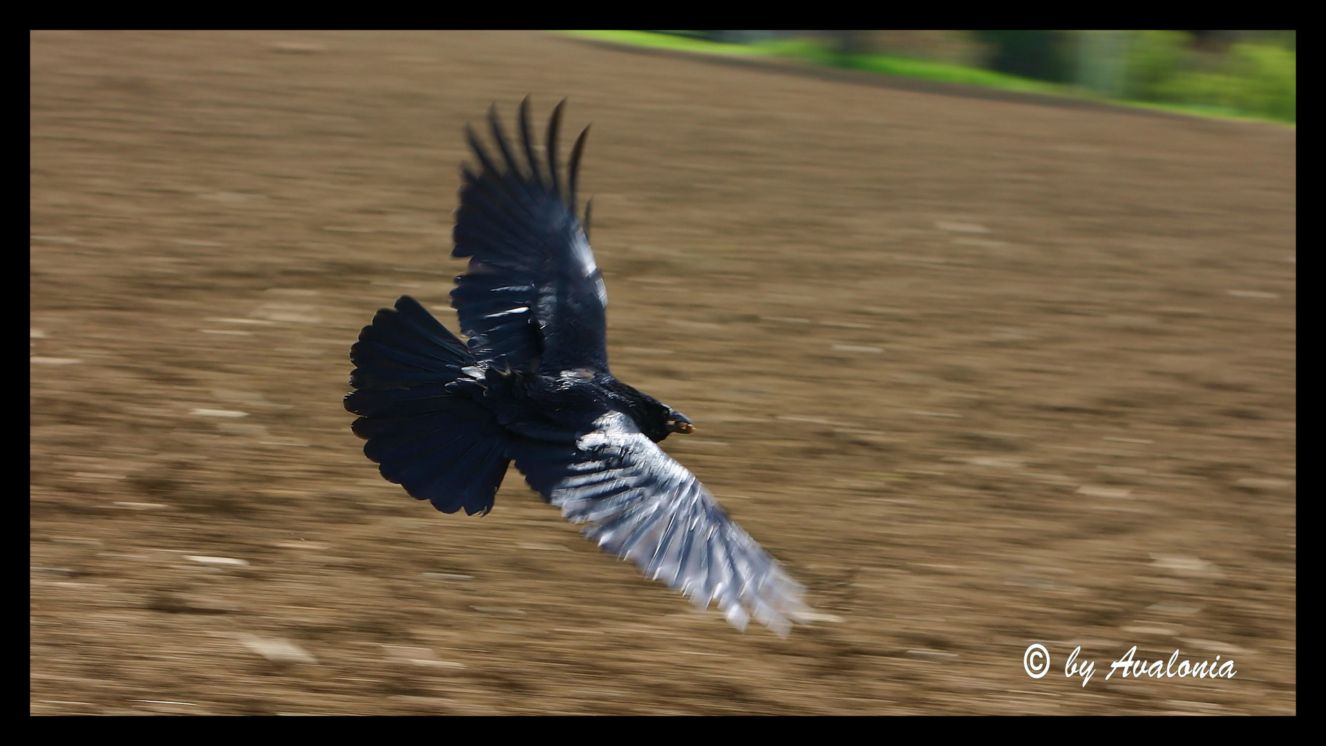 Flying Black