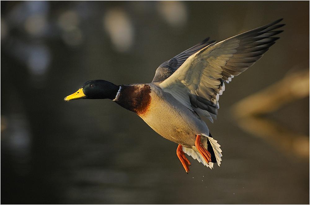 Flying Duckman