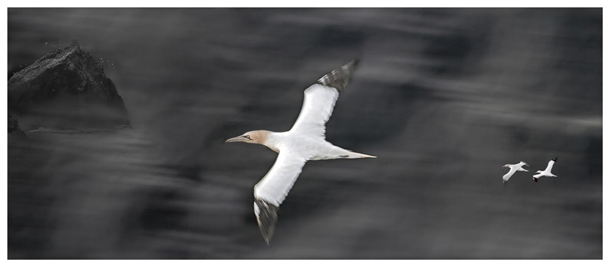 Flying Gannets, Shetland Inseln