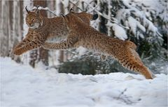 Flying Lynxes