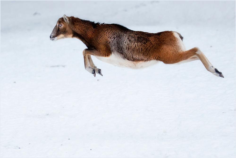 Flying Mufflon :-)