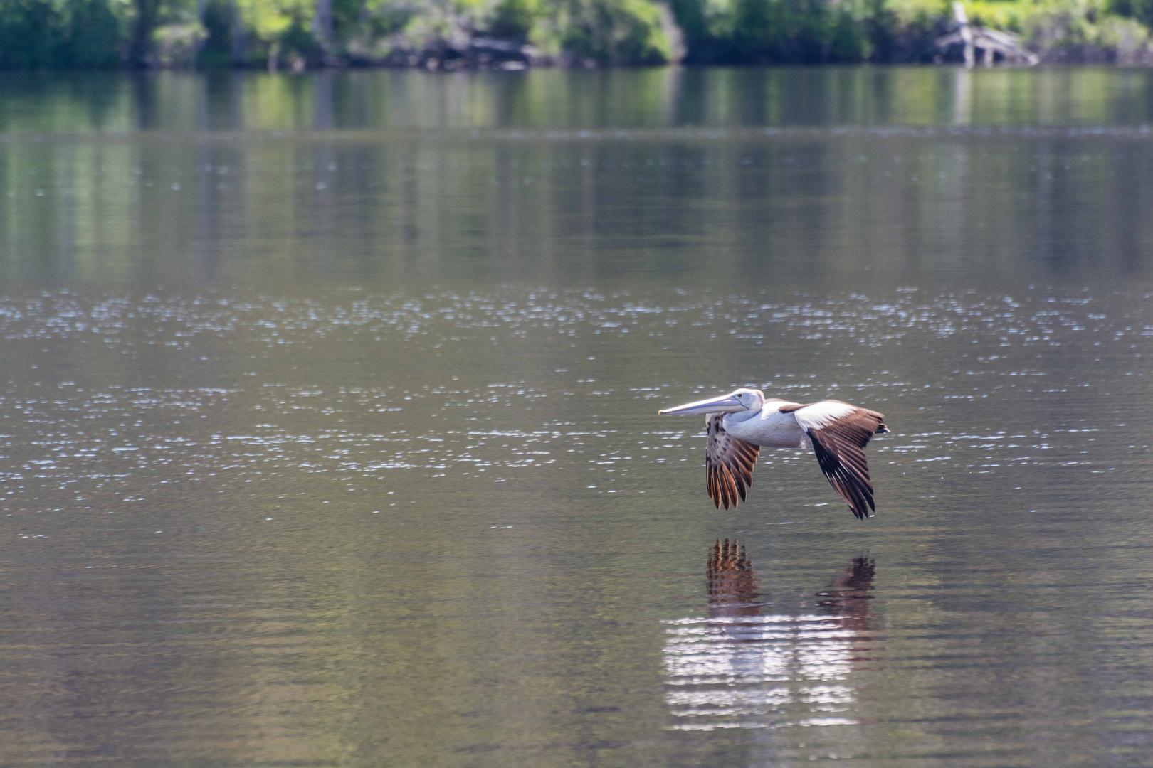 Flying Pelikan