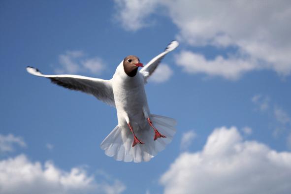 Flying penguin...