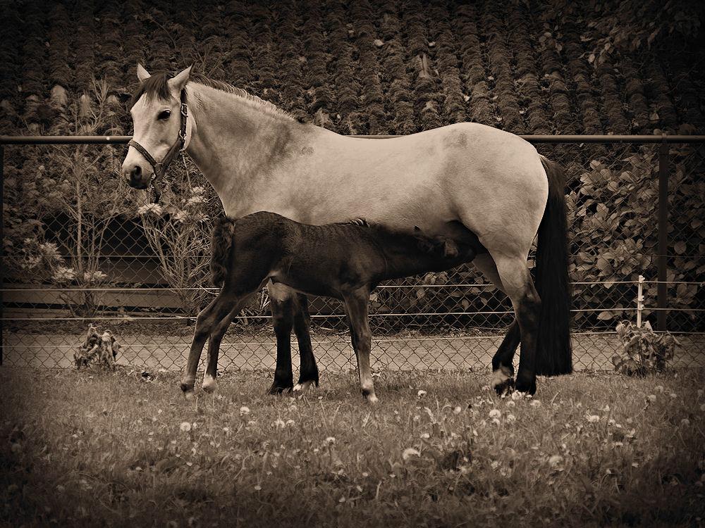 Foal sucks mother's milk